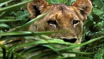 Life of Lions - Hunting, Fighting, Mating (Nature/Wildlife Documentary)