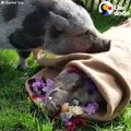 This pig is saying goodbye to his best friend