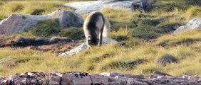 Partez à la rencontre de bébés renards polaires... Adorables