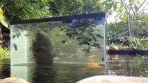 Il a fabriqué cet aquarium génial pour voir ses poissons quand il les nourrit dans son bassin