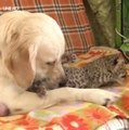 Ce golden retriever a adopté un bébé léopard