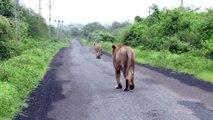 3 lionnes se baladent en pleine route au moment ou un motard débarque... Belle frayeur