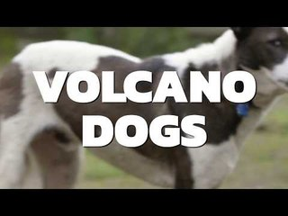 Bali Dogs under threat from Mt. Agung volcano | VOLCANO DOGS | COCONUTS TV ON IFLIX