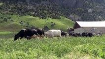 Avrupa'daki yüksek vergiden kaçtı, Türkiye'de sütçü oldu - KAHRAMANMARAŞ