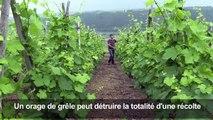 Rhône: une nouvelle arme antigrêle pour les vignerons