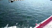 Plougastel-Daoulas (29). Le dauphin acrobate fait son cirque !