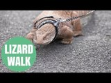 Animal lover takes his four-foot long pet lizard out on a lead