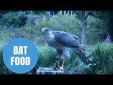 Sparrowhawk filmed eating a bat