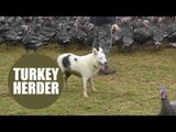 Farmer finds way of herding turkeys with ingenious technique - using a sheep dog
