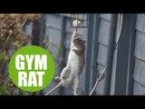 Moment acrobatic rat is caught raiding the bird feeder