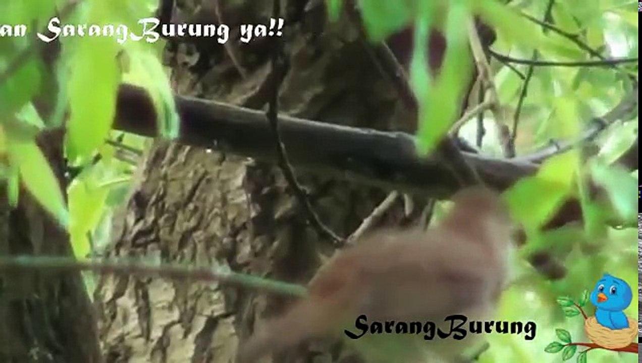 Kicau Burung Sikatan Londo Durasi Panjang Di Alam Liar Video Dailymotion