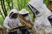 VIDEO. Greffage d'abeilles noires par les apiculteurs deux-sévriens
