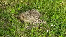 Un petit hérisson tout mignon dans mon jardin - Qui s'y frotte s'y pique