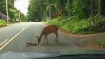 Cette biche vient au secours de son petit, terrifié au milieu de la route