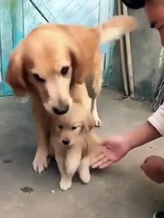 Parenting Dog Has A Hard Time Letting Go Of Her Baby
