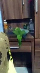 Parrot Steals Roommate's Pillow