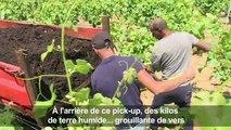 Dans des vignes de Provence, le lombric à la rescousse