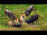 Amazing Animals Fight Wildebeest v Lion, Hyena, Buffalo & Cheetah