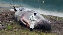 Un cachalot retrouvé échoué sur les berges du lac de Serre-Ponçon