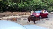 Aç kalan yaban domuzları Marmaris şehir merkezinde yiyecek aradı - MUĞLA
