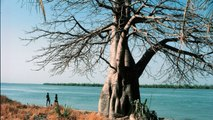 Some Of The World's Oldest & Biggest Baobob Trees Have Died