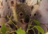 First Orphaned Koala Joey of 'Trauma Season' Munches on Leaves at Australia Zoo