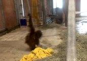 Baby Orangutan Practices Acrobatic Skills at National Zoological Park