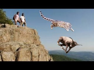 Clever Goat jumps to The Cliff To scape From Snow Leopard