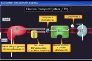 (5)CBSE Class 11 Biology, Respiration in Plants – 5, Electron Transport System