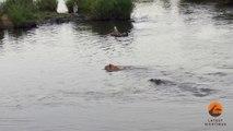 Un crocodile prend en chasse une lionne qui va s'en sortir miraculeusement