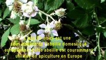 L'abeille noire est une sous-espèce de l'abeille domestiqueeuropéenne. Cette abeille est courammentutilisée en apiculture en Europe