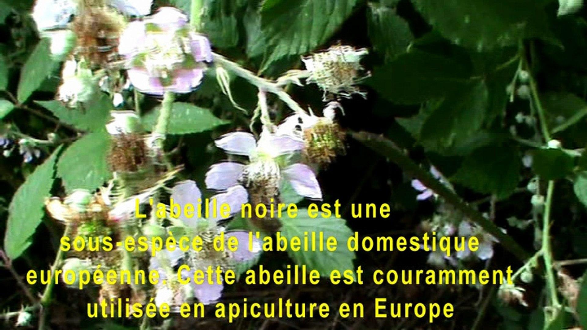 L'abeille noire est une sous-espèce de l'abeille domestiqueeuropéenne. Cette abeille est