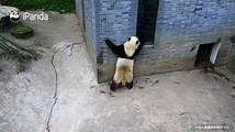#CCRCGPMan Yue Mei (Qing Qing): Who is this panda? How can he be as handsome as me? That's impossible!