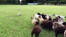 Ce chien de berger ne parvient pas à maîtriser ce troupeau