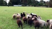 Un chien berger se fait chasser par un troupeau de moutons !