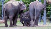 Avustralya, Taronga Western Plains Hayvanat Bahçesi'nde yeni bir fil dünyaya geldi. Minik fil annesiyle beraber ilk yürüyüşüne çıktı.Hoşgeldin minik fil