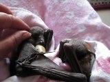 Des bébés chauve-souris en manque de calins... Adorable