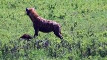 Hyena Eating New Born Calf [ Wild Animal Fights ]67