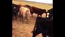Oie vs Troupeau de vaches