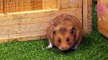 Brazil  v  Costa Rica v hamster  After this match, will our furry superstar still want to be named Neymar-mite, or will he prefer Cute-inho?