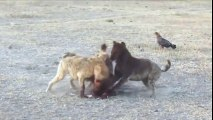 Hyenas Fight Each Other Over Food [ Wild Animal Fights ]70