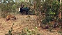 Leopard vs Hyena - Leopards Fight Hyenas for Kill [ Wild Animal Fights ]84