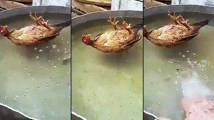 Un poulet qui prend un bain