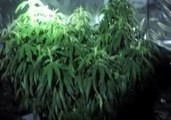 179 Cannabis Plants Seized in Wollongong Drug Bust