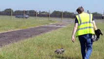 UK's Royal Air Force Uses Birds Of Prey To Keep Smaller Birds From Settling In Places They Shouldn't