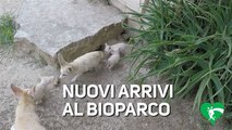IlBioparcodi Roma diventa casa per questi cuccioli di fennec