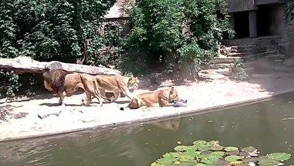 Une lionne qui chasse un héron