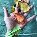 Ces insectes magnifiques ressemblent à des feuilles de toutes les couleurs