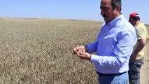 TZOB Yönetim Kurulu Başkan Vekili Gamzeli - Buğday ve arpa hasadı - ÇANKIRI