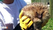 'World's Fattest' Hedgehog Goes On A Diet